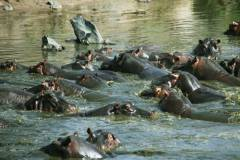 Hippo pool Serengeti