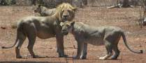 See lions on our cheap safari