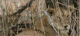 Lions at Selous