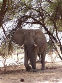 elephant at Mikumi
