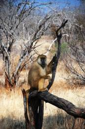 yellow_baboon